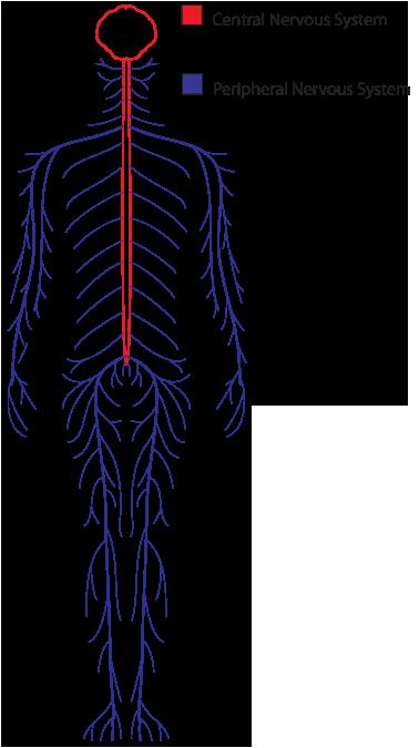 Nervous Systemv1 Png 378 675 Nervous System Image Nervous