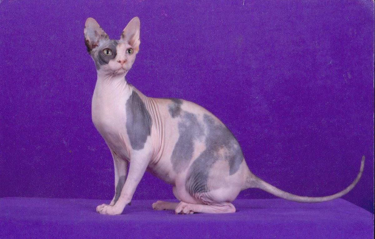 Son Of Rwsgch For Tica Sphynx Cat Cats Pets