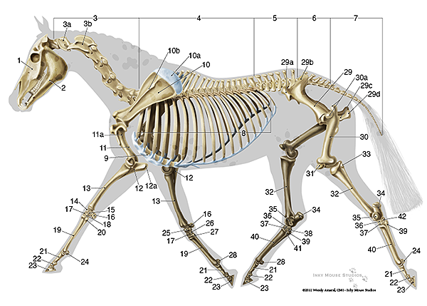 equine skeletal anatomy chart horse stuff horses. Black Bedroom Furniture Sets. Home Design Ideas