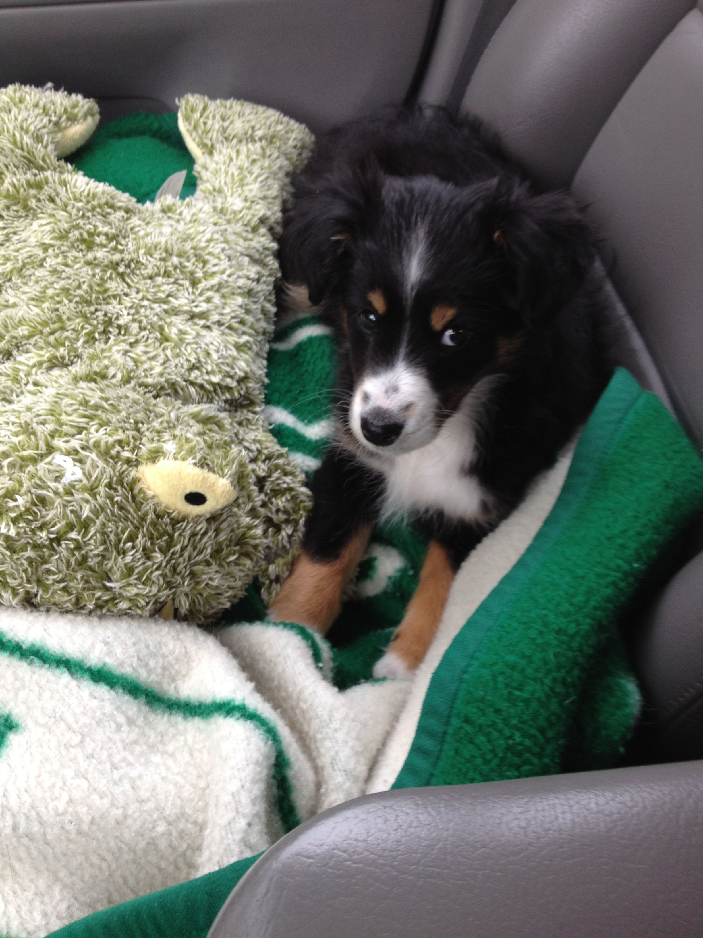Sheltie Aussie Mix Puppies For