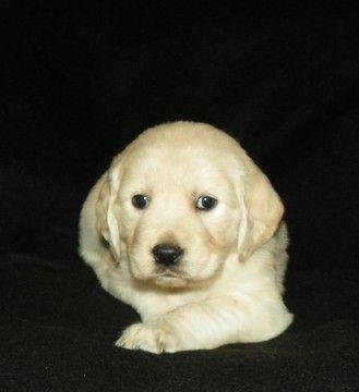 Litter Of 8 Golden Retriever Puppies For Sale In Grantsville Ut