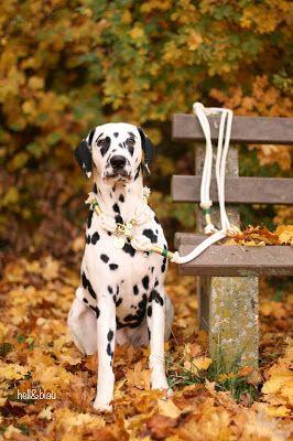 Herbstverruckt Hunde Dalmatiner Hunde Dalmatiner