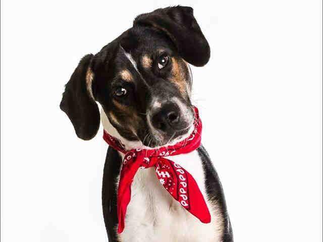 Oklahoma Urgent Galileo Id A060629 Is A 1yo Tri Color Beagle