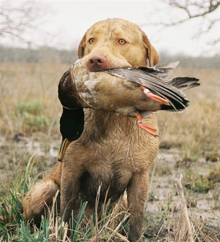 Books On Training Duck Dogs