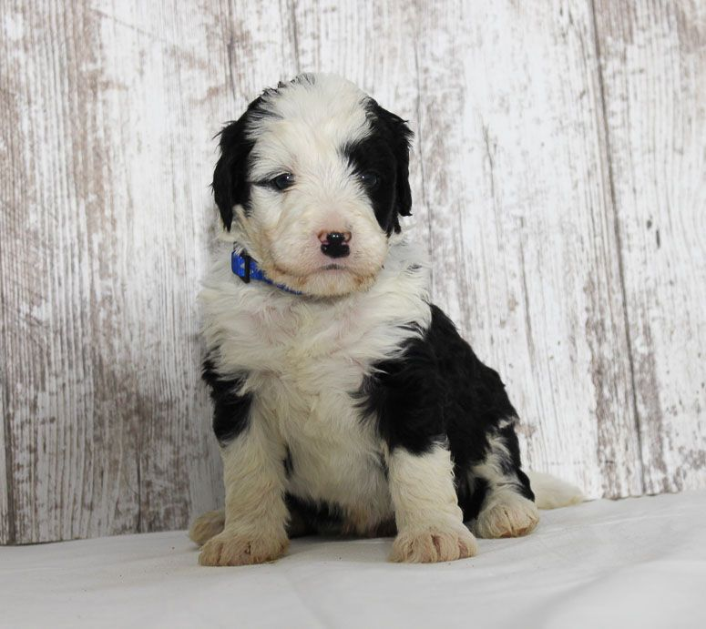 Chester A Male Mini Bernedoodle Puppy Near Fort Wayne Indiana Bernedoodle Bernedoodlepuppy Vippuppies Pupper Bernedoodle Puppy Puppies Puppies Near Me