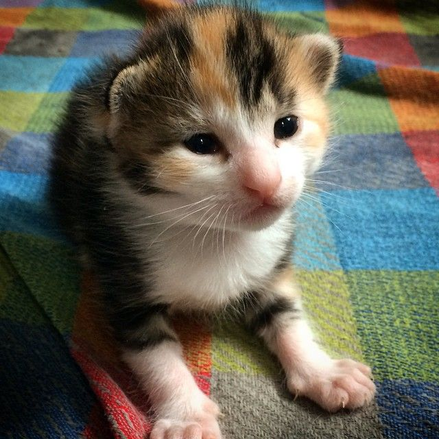 Inspurration Pet Art Photos On Instagram She Was Just Sitting There As Cute As Could Be How Could I Not Take A Hundred Foster Kittens Calico Kitten Kitten