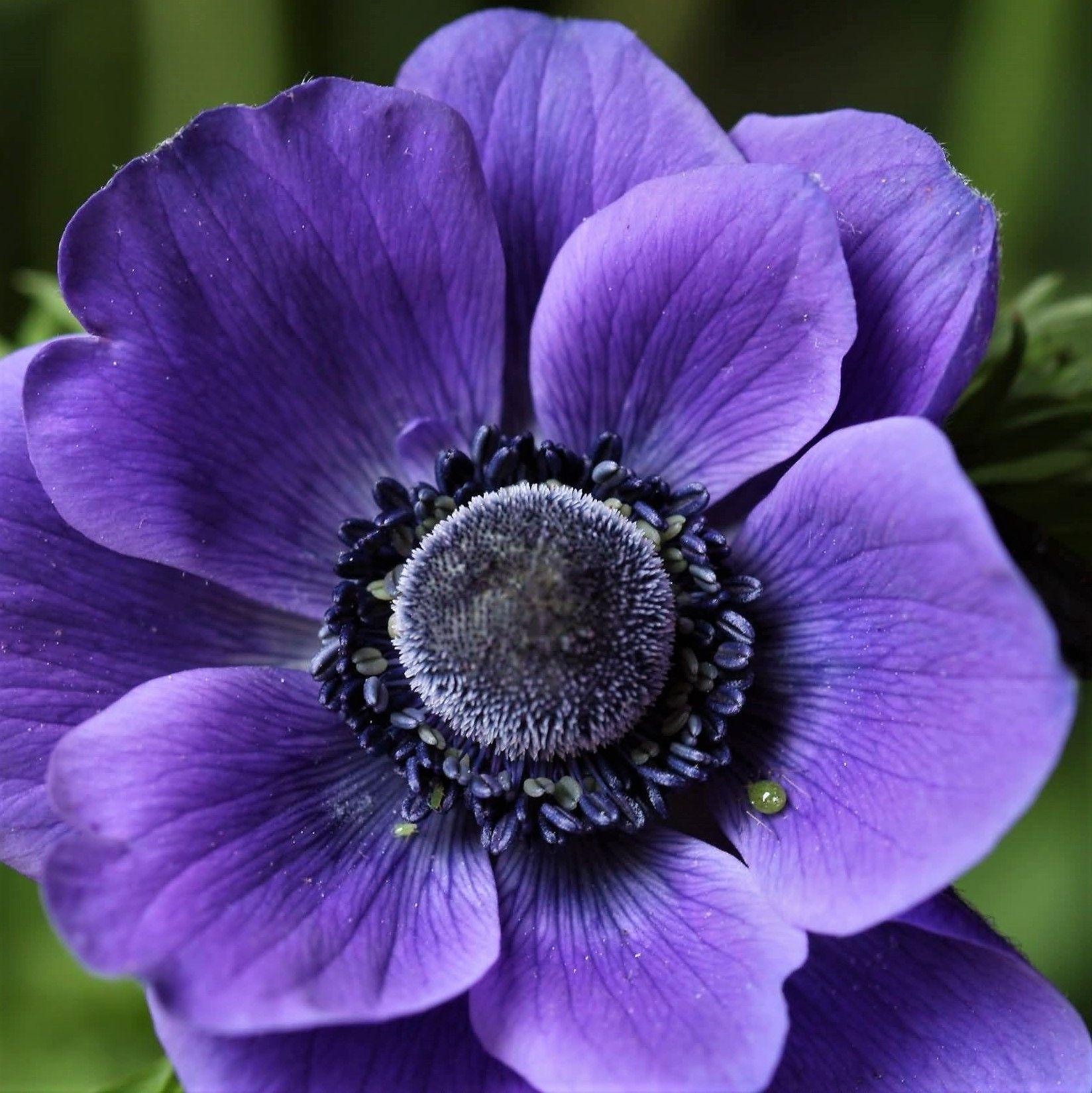 Purple Anemones Wholesale Flowers Diy Wedding Flowers Dark Purple Flowers Diy Wedding Flowers Wholesale Flowers