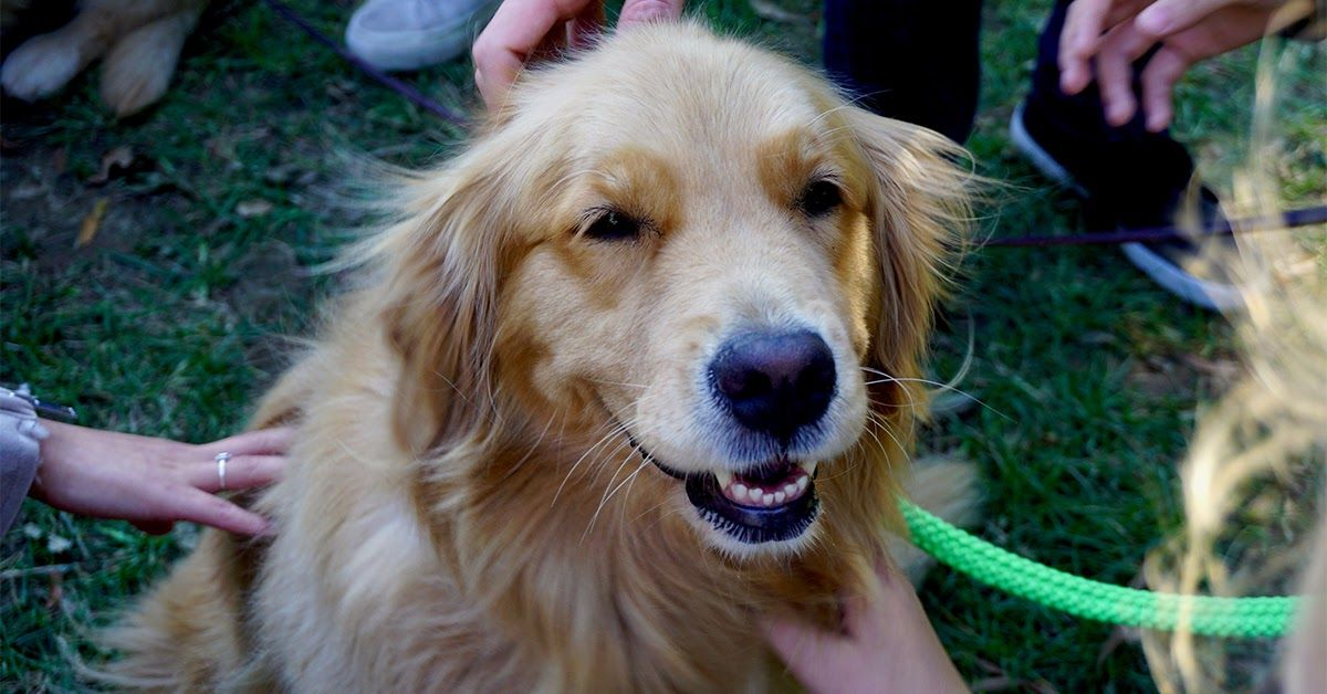 Golden Retriever Rescues In Every State 64 Rescues Golden