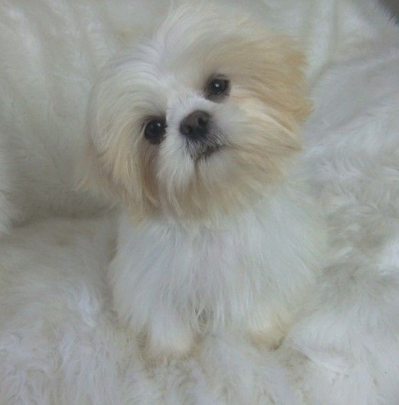 We Are Karashishi White Imperial Shih Tzu Boy Imperial Shih Tzu