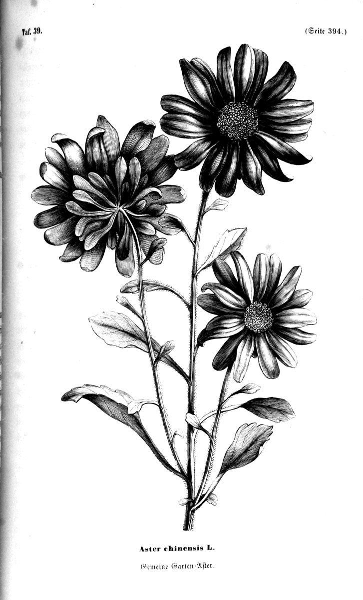 botanische unterhaltungen zum verst ndni der heimathlichen flora 1858 tattoos pinterest. Black Bedroom Furniture Sets. Home Design Ideas