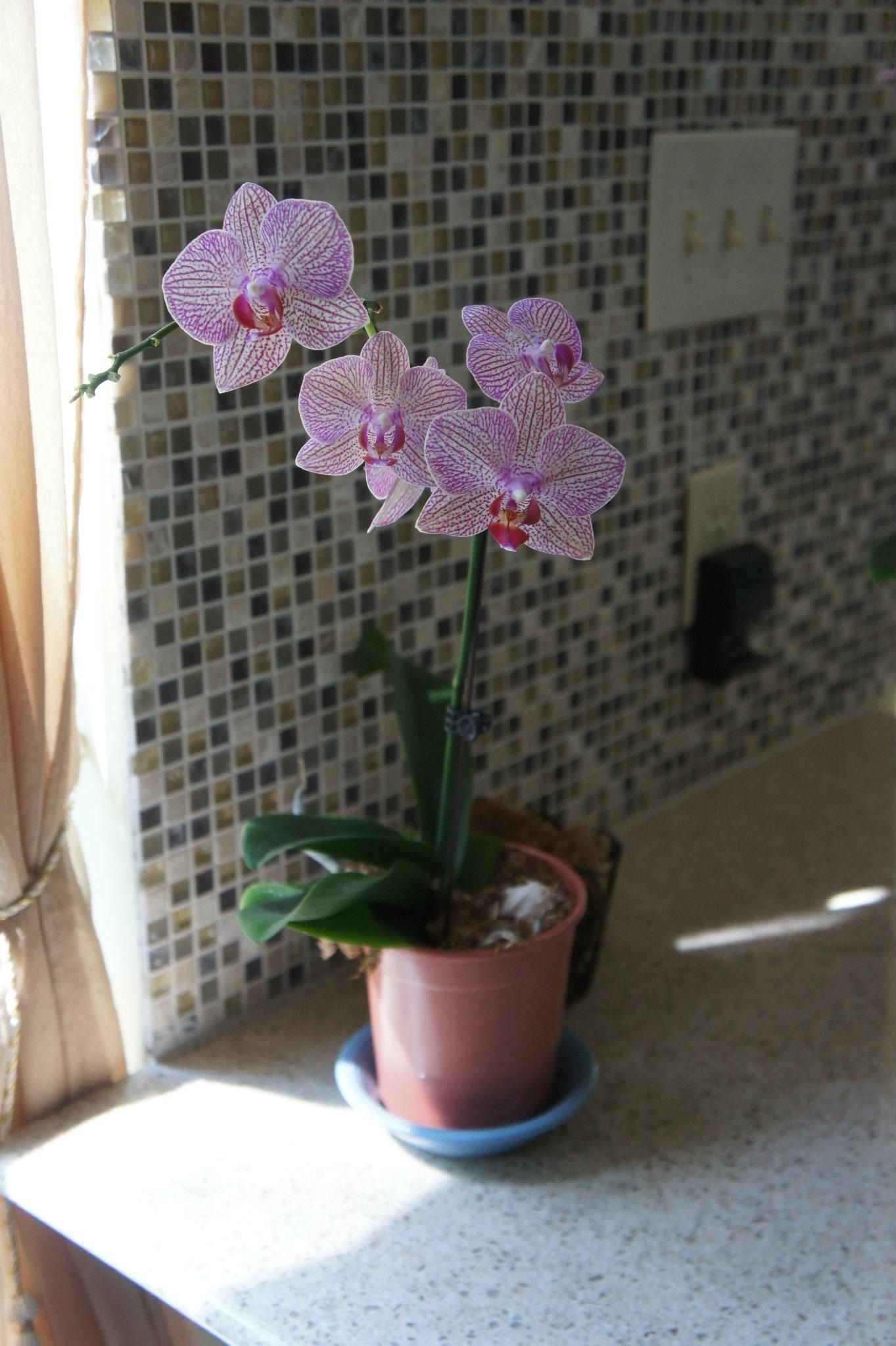 White Orchid With Pink Stripes
