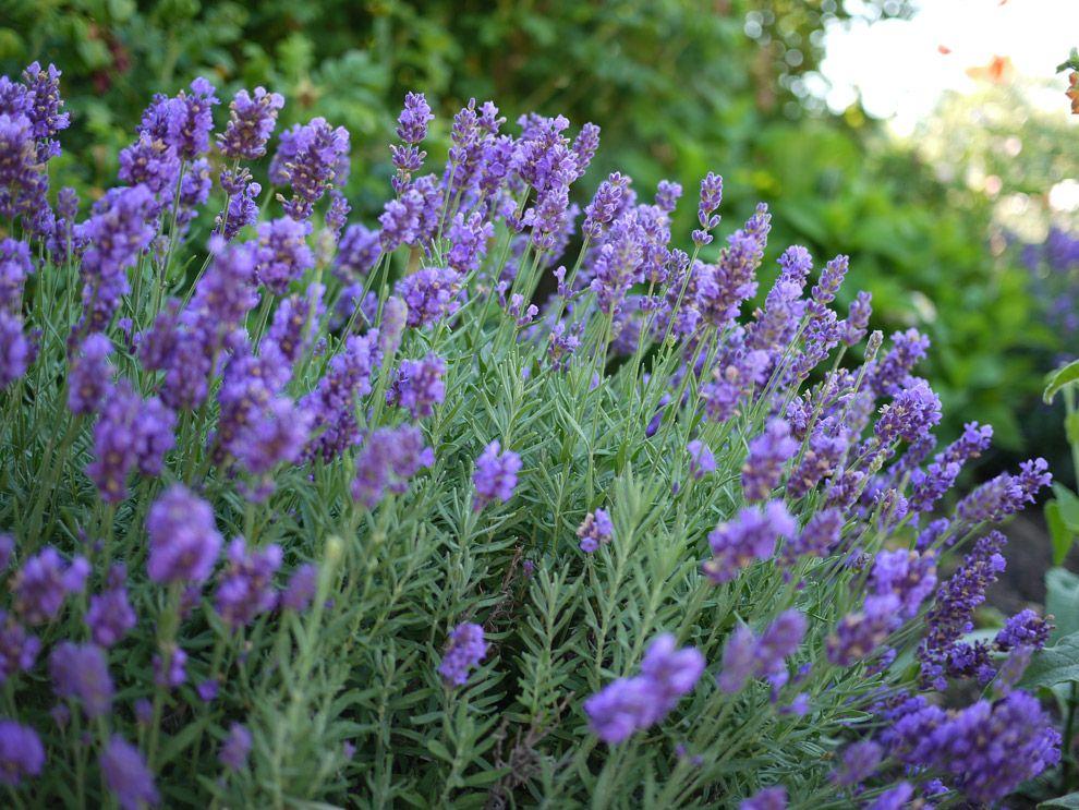 Lavender Phenomenal Will Survive Zone 4 Winters W Cover