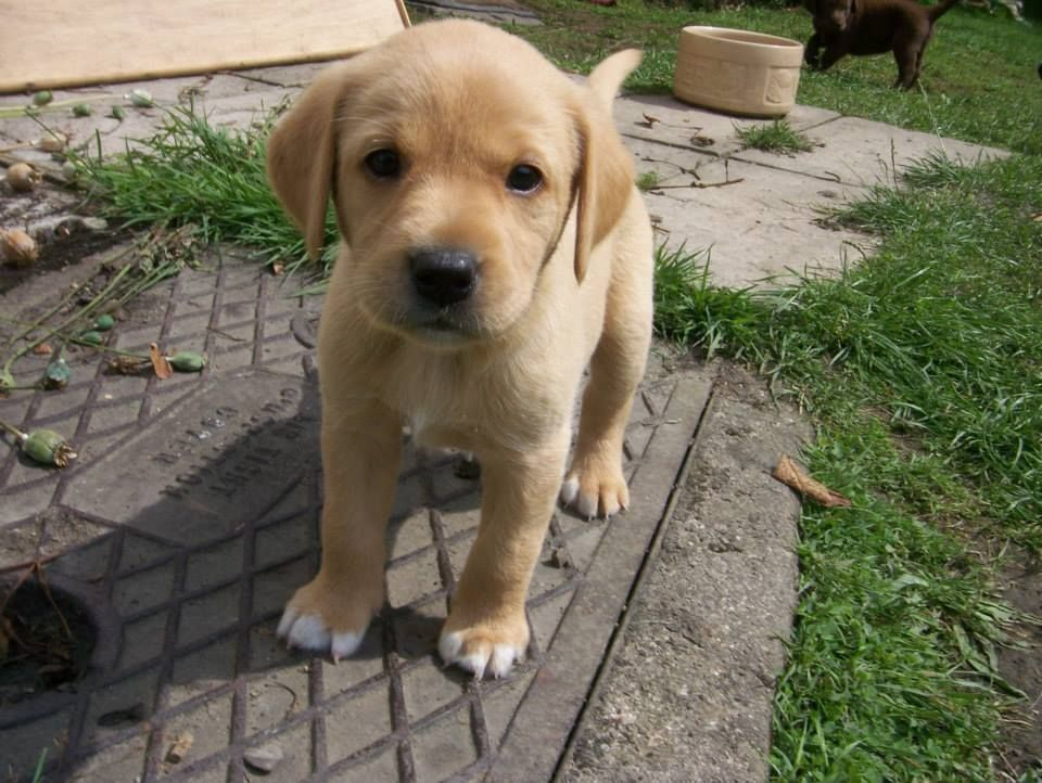 It's very hard to resist the face of this puppy Labrador