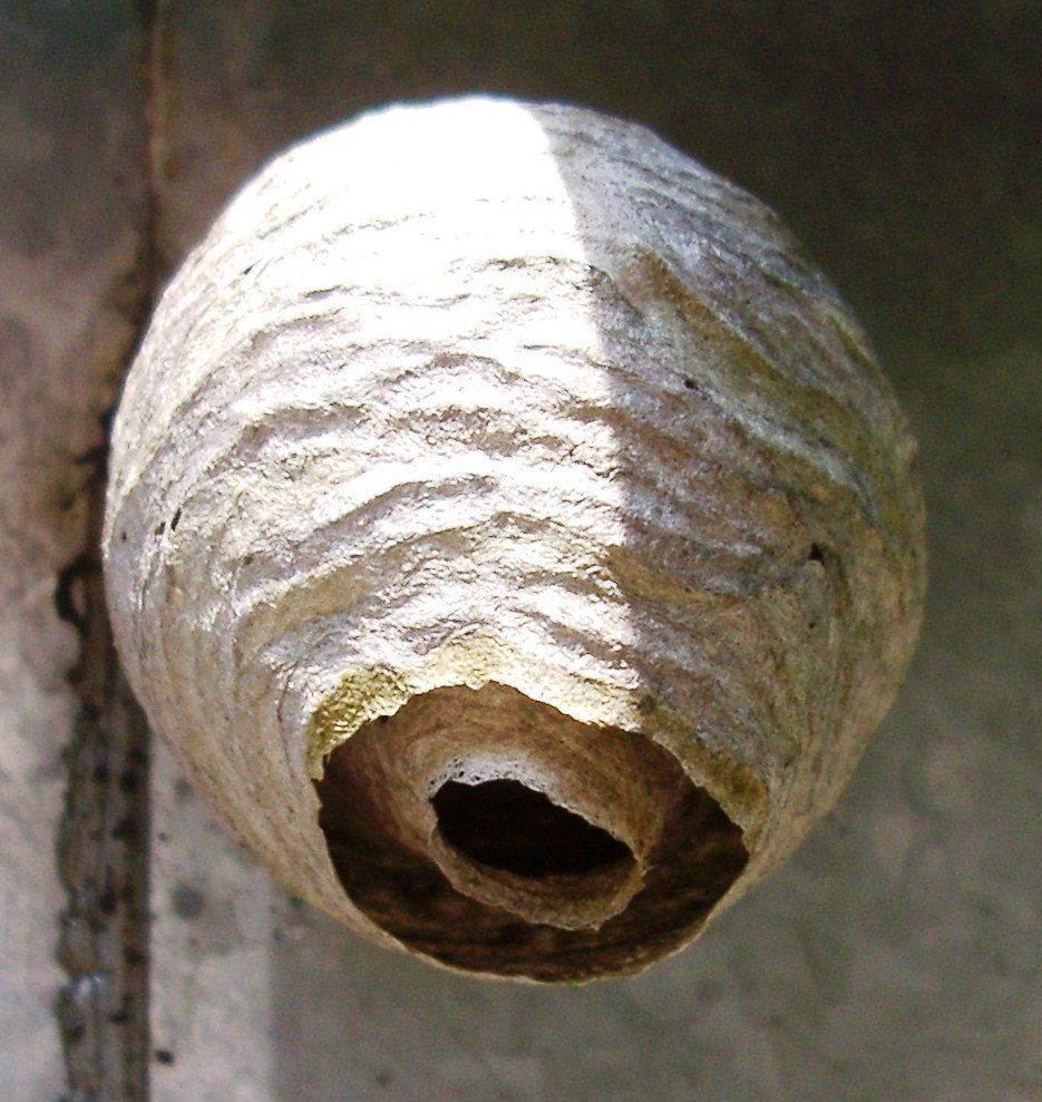 How to keep wasps away from your home backyard farming