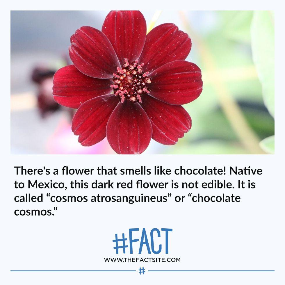 555+ Fun & Random Fact Images in 2020 Chocolate cosmos