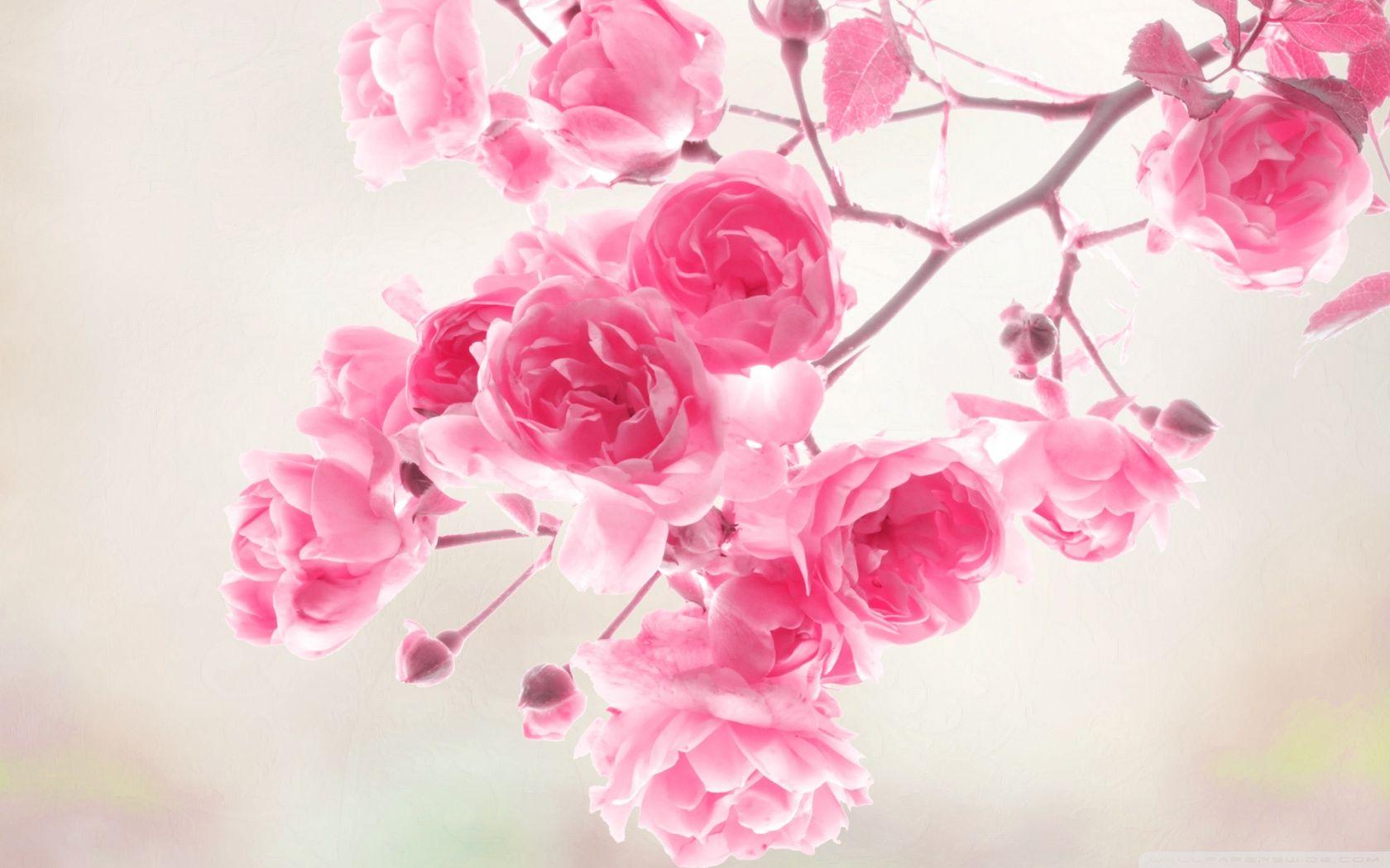 Rose flower wallpaper hd hd wallpapers pinterest rose flowers rose flower wallpaper hd izmirmasajfo