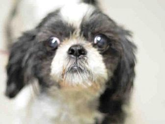 Shih Tzu Mix Dog For Adoption In Brooklyn New York Beijing