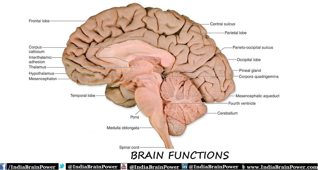 Know Amazing Facts Of Your Brain & Physical Structure Of Your Mind ...