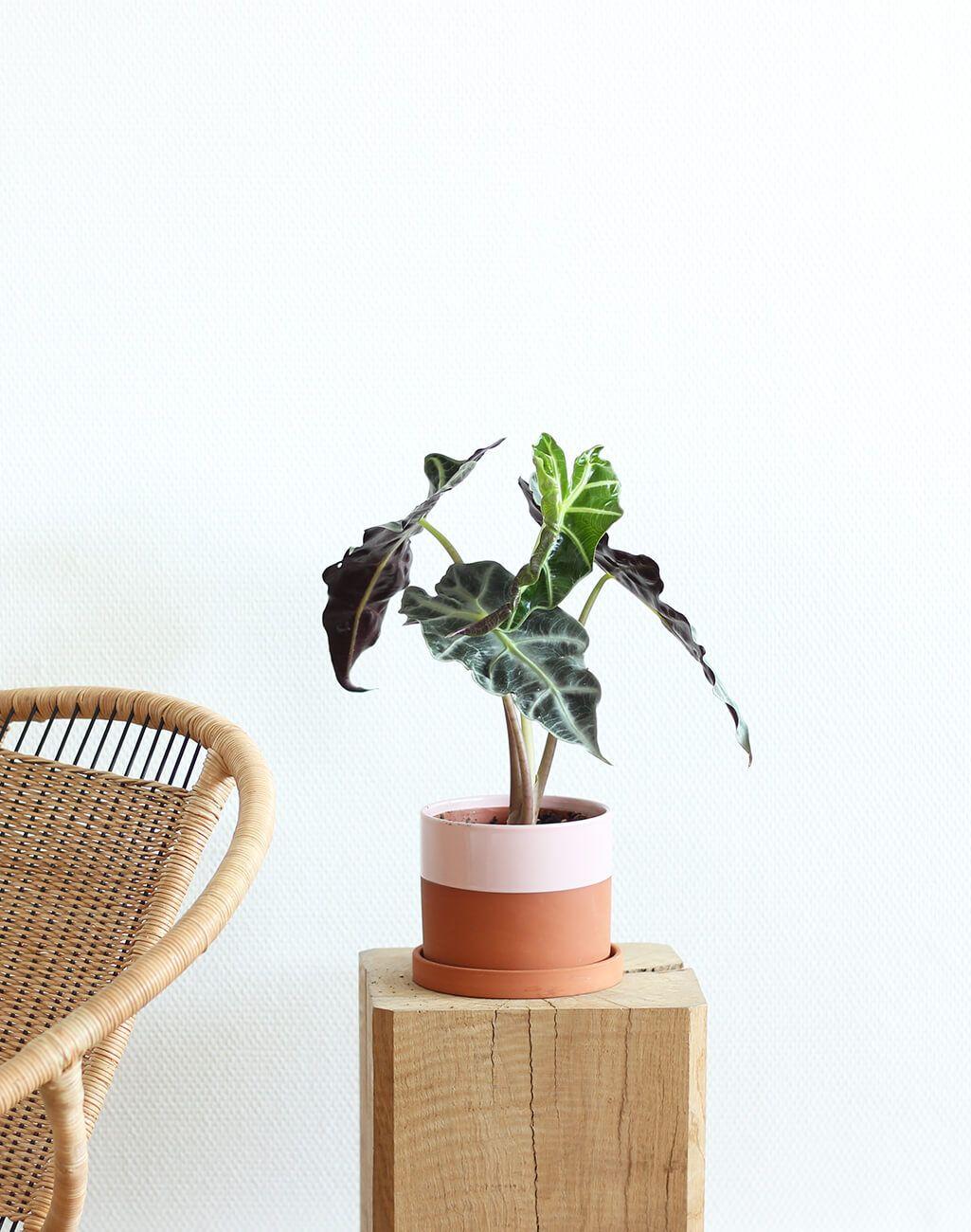 Plante D Intérieur Qui Aime La Chaleur alocasia | plante verte intérieur, plante verte et plante