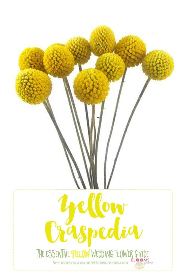 Names and types of yellow wedding flowers with pics flower tips types of yellow flowers yellow craspedia see the entire yellow wedding flower guide here and save for later mightylinksfo