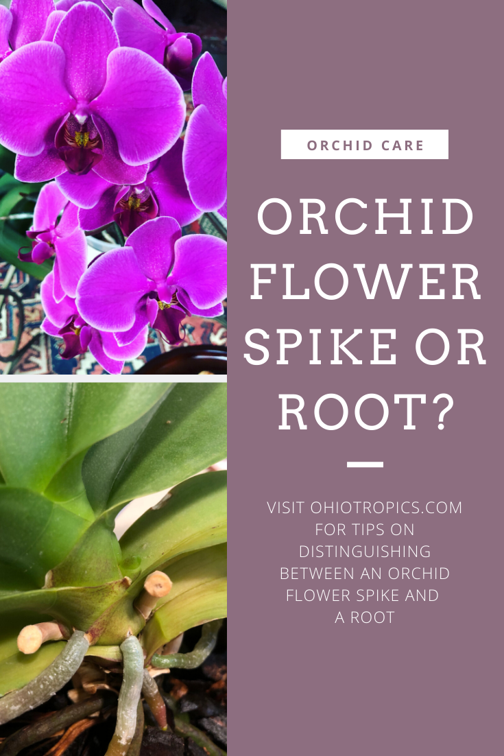 Orchid Flower Spike Or Root With Images Orchid Flower Flower Spike Flower Care