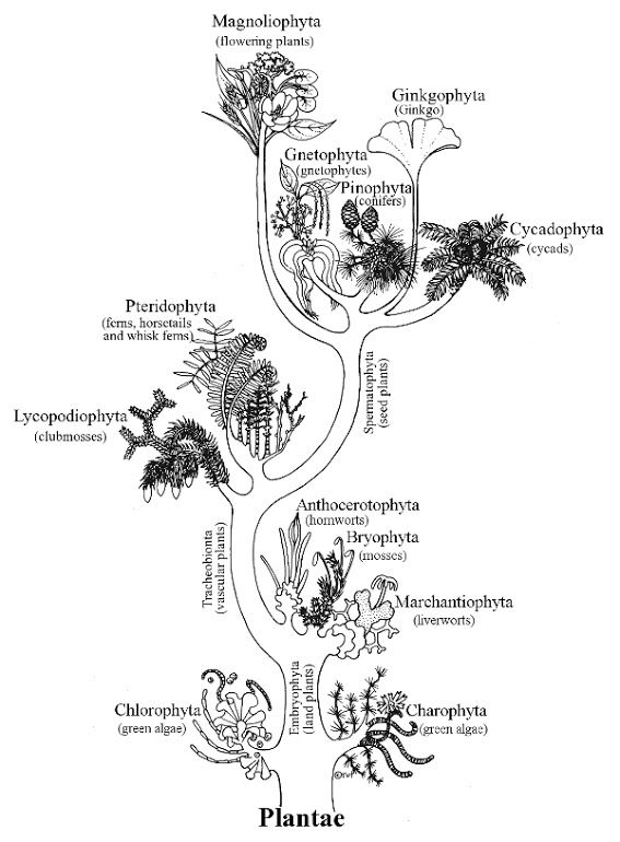 Kingdom Plantea : kingdom, plantea, Kingdom, Plantae, Plantae,, About, Plants,, Alternation, Generations