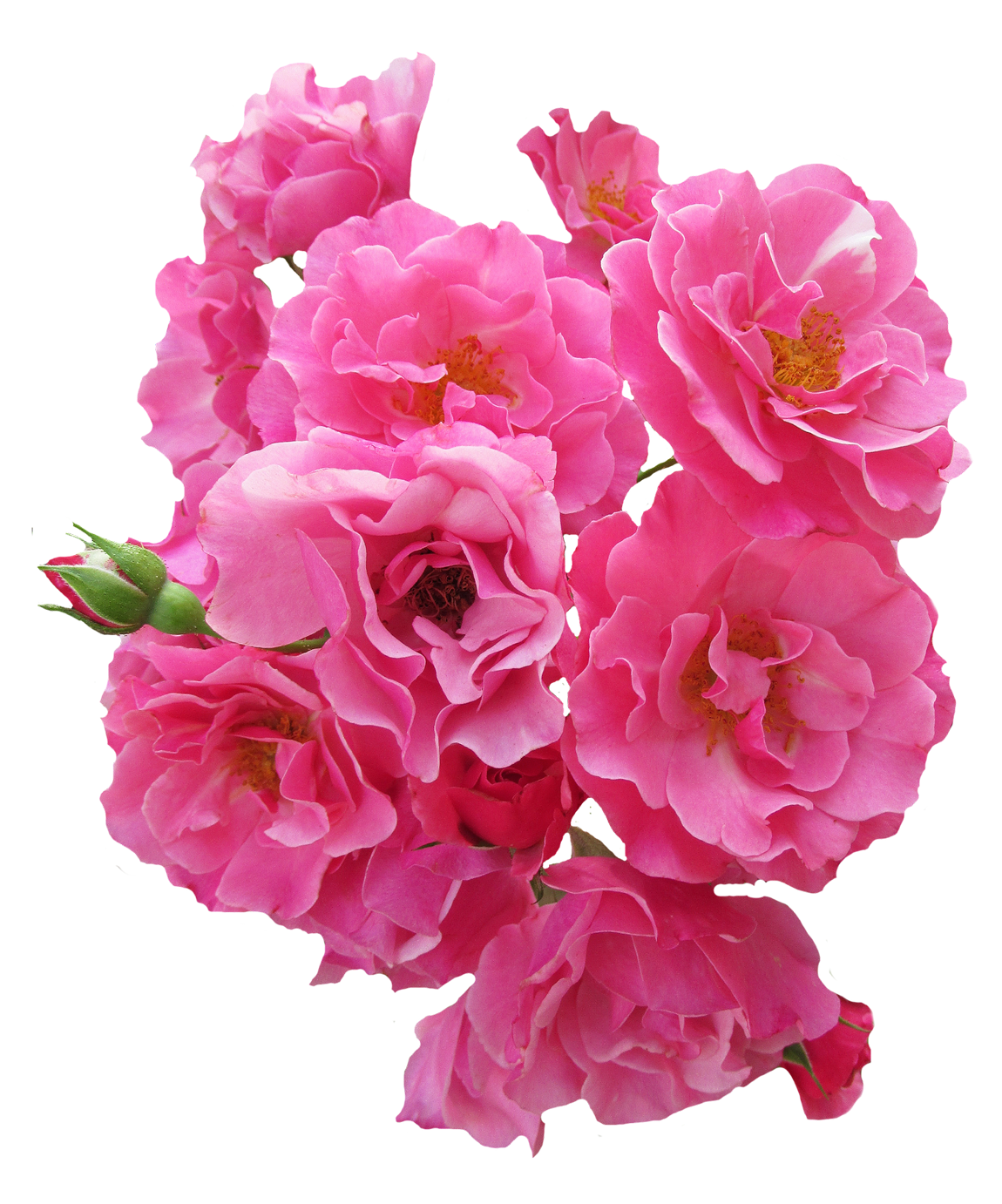 Bunch Pink Rose Flower PNG Image (With images) Rose