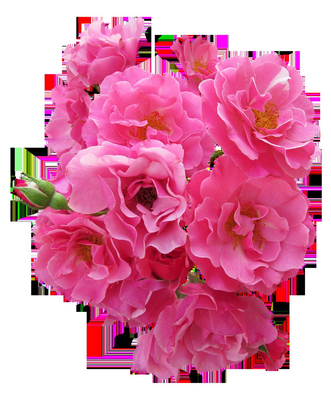 Bunch Pink Rose Flower Png Image Rose Flower Png Flower Png Images Rose Flower