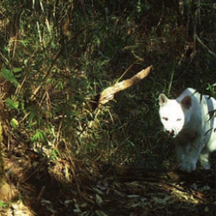 2020-07-14 07_57_22-(PDF) First record of leucism in puma from Serra dos Órgãos National Park, Brazi | Cats, Animals, Albino