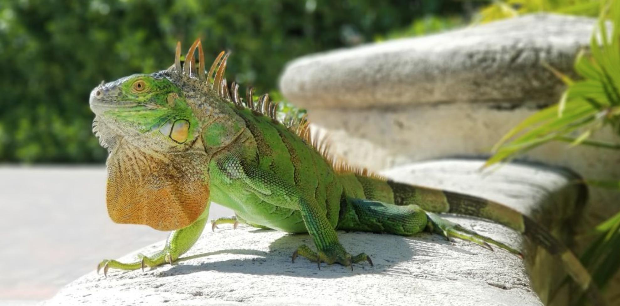 Por las bajas temperaturas, se congelaron las iguanas en Florida