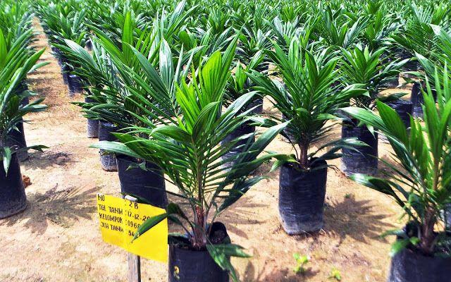 Beberapa varietas unggul kelapa sawit Indonesia sebagai penghasil utama CPO untuk memenuhi kebutuhan dunia.