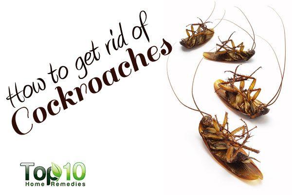 pandan leaves for cockroach