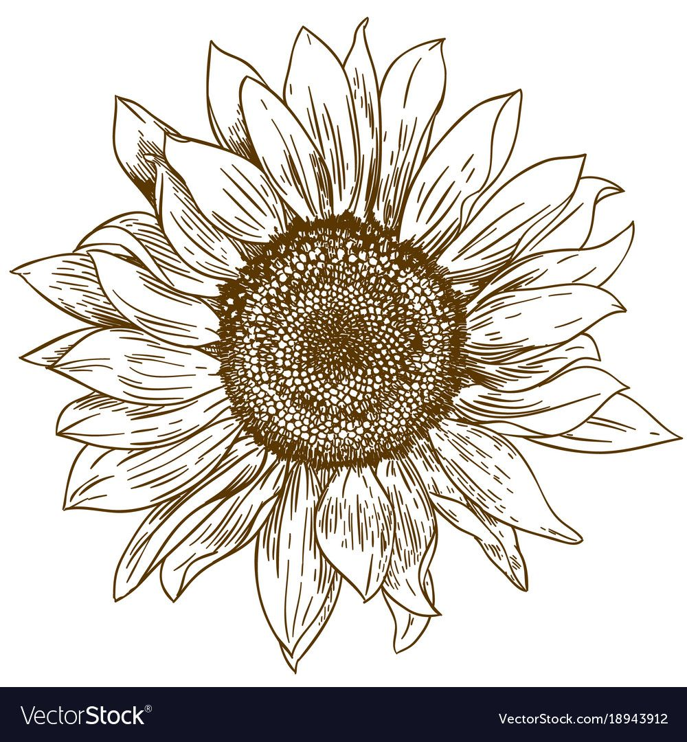 Engraving drawing of big sunflower vector image on