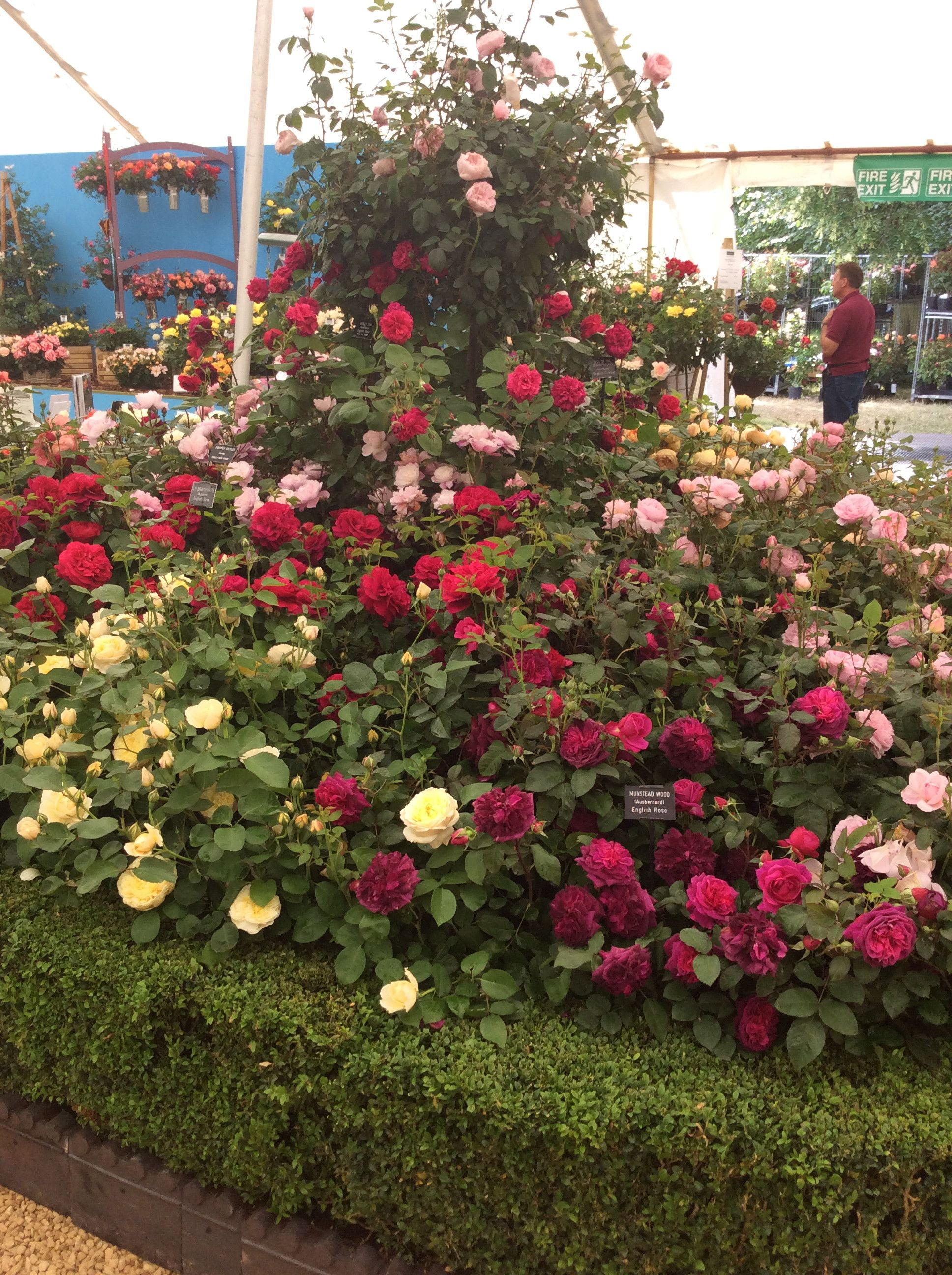 So very pleased to have won a Gold Medal and Best Rose Exhibit at ...
