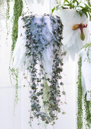 Leuchterblume ceropegia woodii pflege vermehrung majas pflanzenwelt zimmerpflanzen - Zimmerpflanzen sonniger standort ...