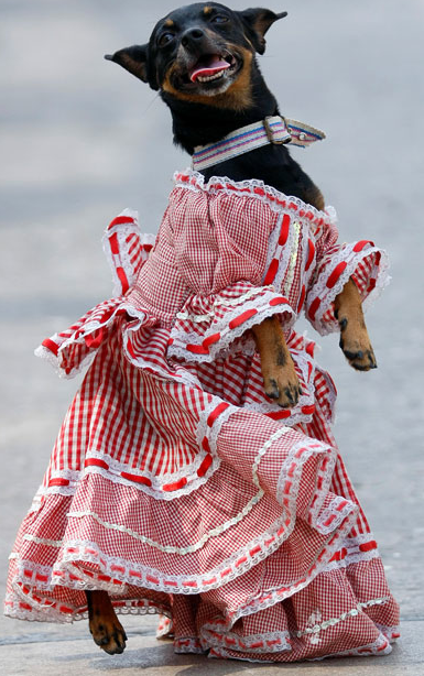 Twentythree A Dog Dressed In Traditional Cunmbia Outfit Carnaval Bailando Cumbia Barranquilla
