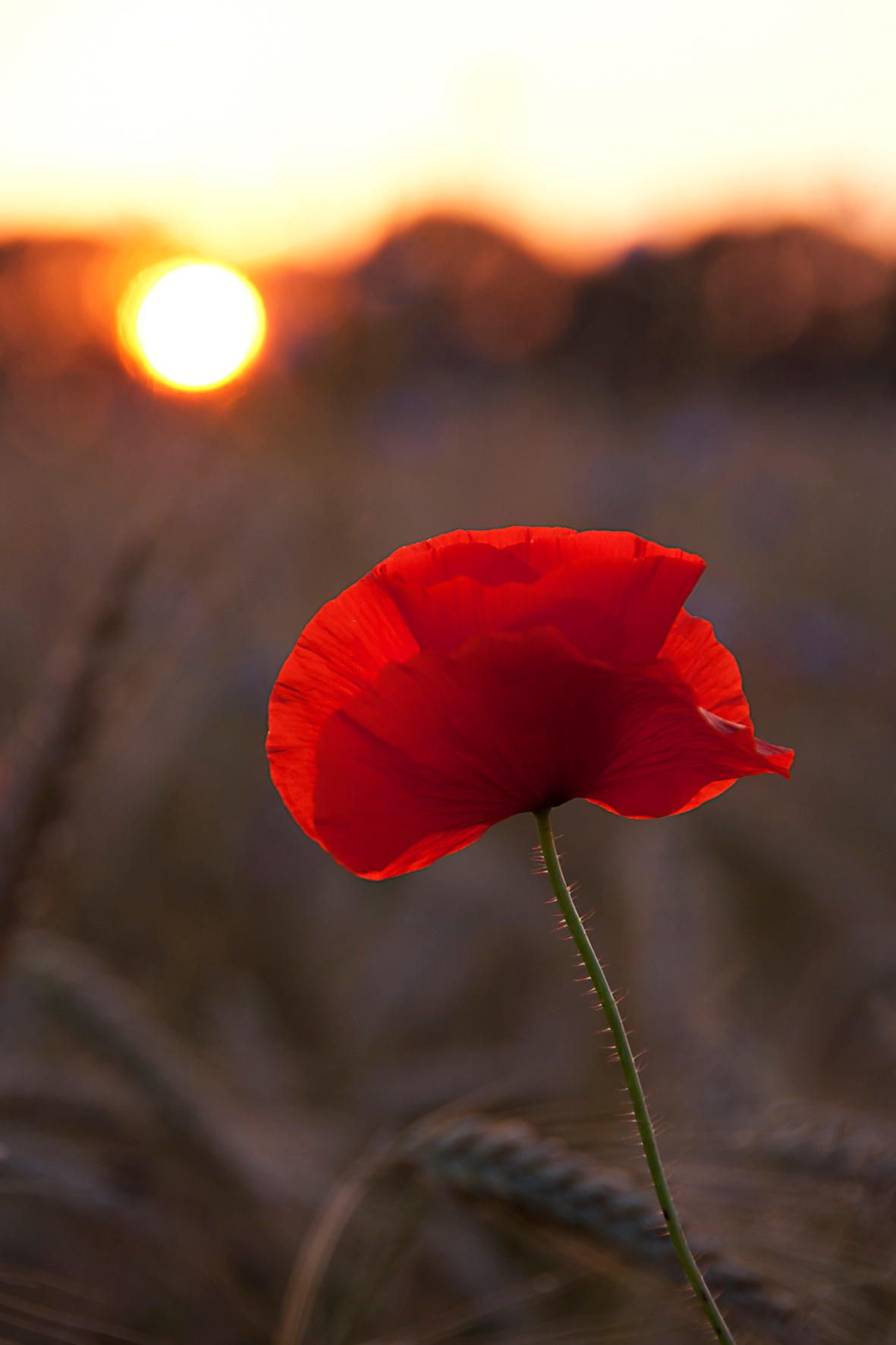 Poppy 2 By Irene Van Nunen On 500px Blumen Mohnblume Bilder