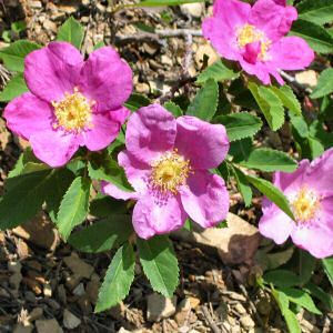 Wild Rose Memories Of Childhood Rose Seeds Wild Roses