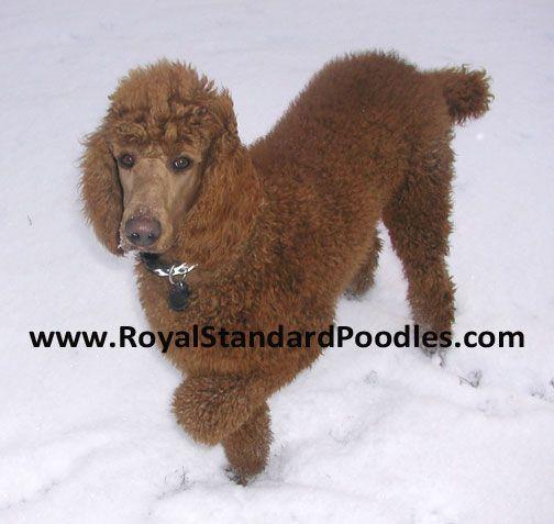 Royal Standard Poodles Red Daniel Super Personality