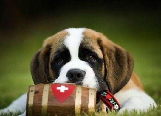 Pin Von Andreas Auf Wuff Wuff Bernhardiner Hunde Tiere
