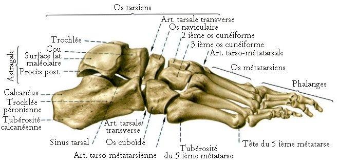 os du pied calcaneum