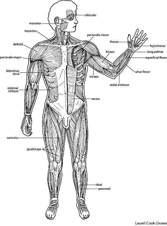 There Are 3 Types Of Muscles Smooth Cardiac And Skeletal This