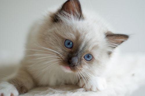 Ragdoll Cat Cute Cats Pretty Cats Ragdoll Cat