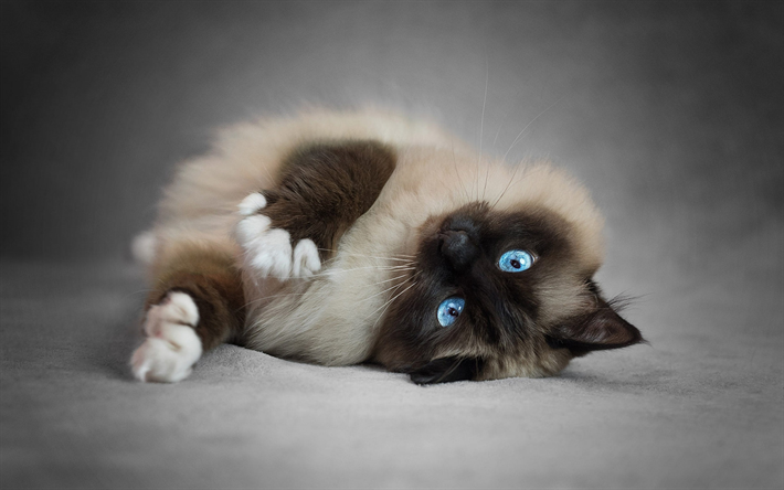 Download wallpapers Siamese Cat, bokeh, fluffy cat, blue