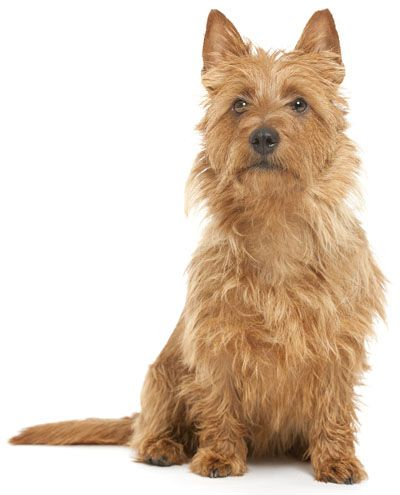 silky terrier temperament learn about the temperament and personality of the 9112