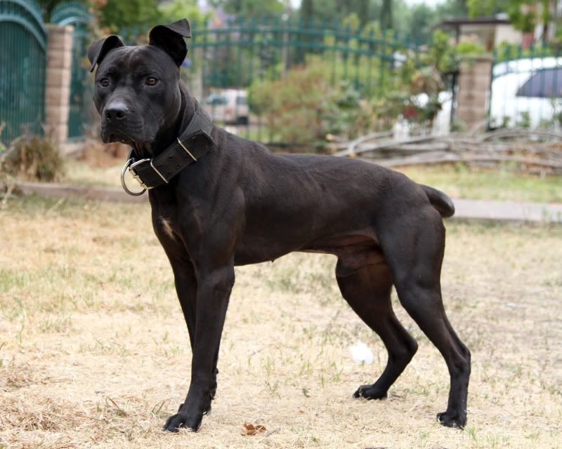 American Pit Bull Terrier - Axiom's Black Thunder | Game Dog