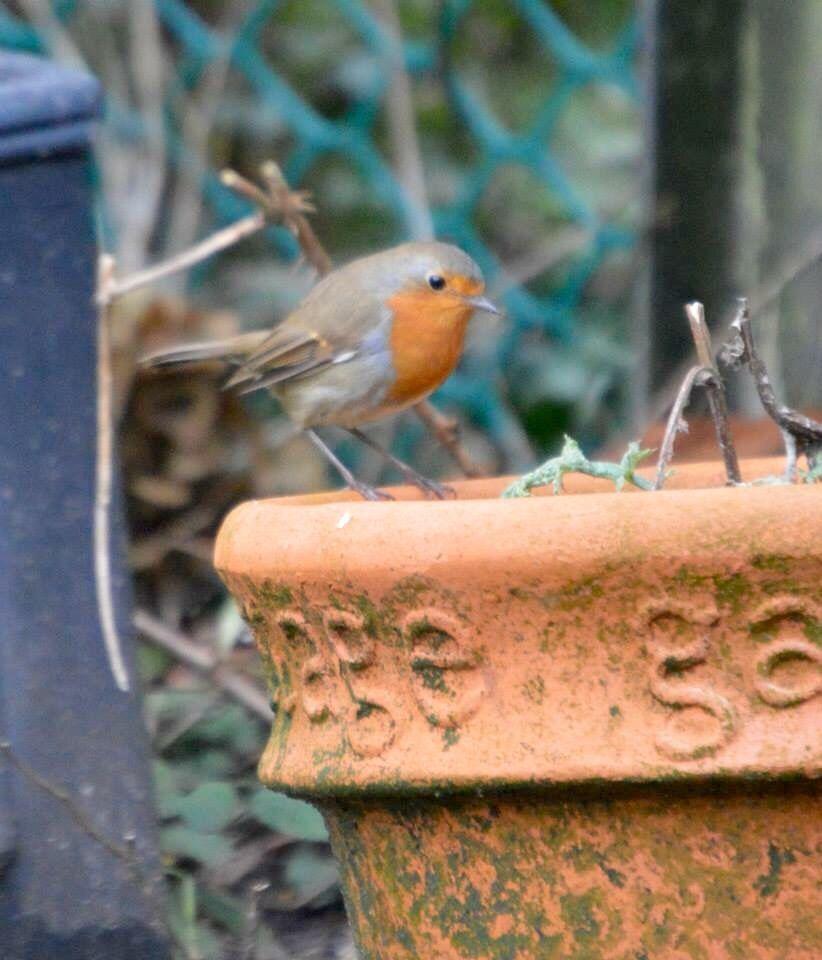 My garden Robin