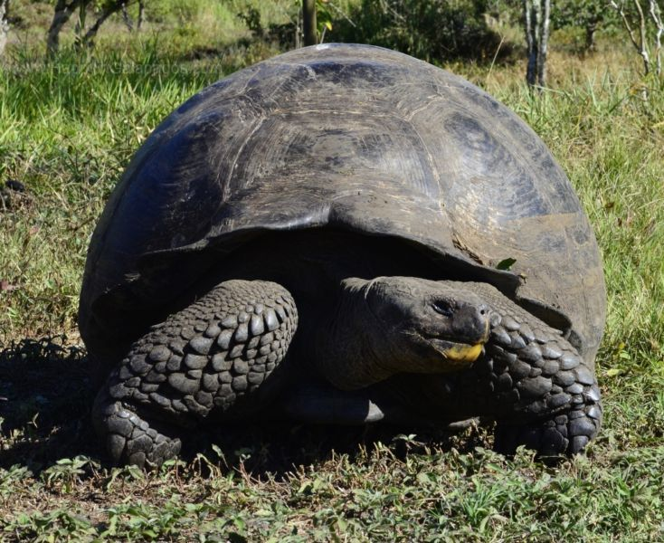 Galapagos is the home of the largest tortoises in the world - http://www.happyingalapagos.com/galapagos-home-largest-tortoises-world/