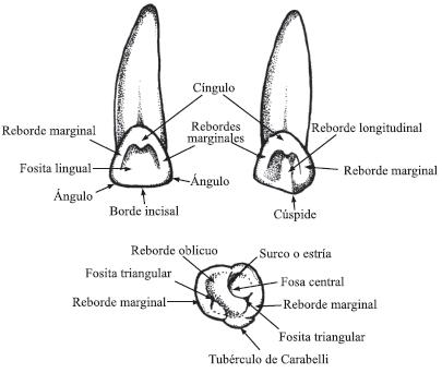 Resultado de imagen de cíngulo dental | Tooth - Dientes | Pinterest ...