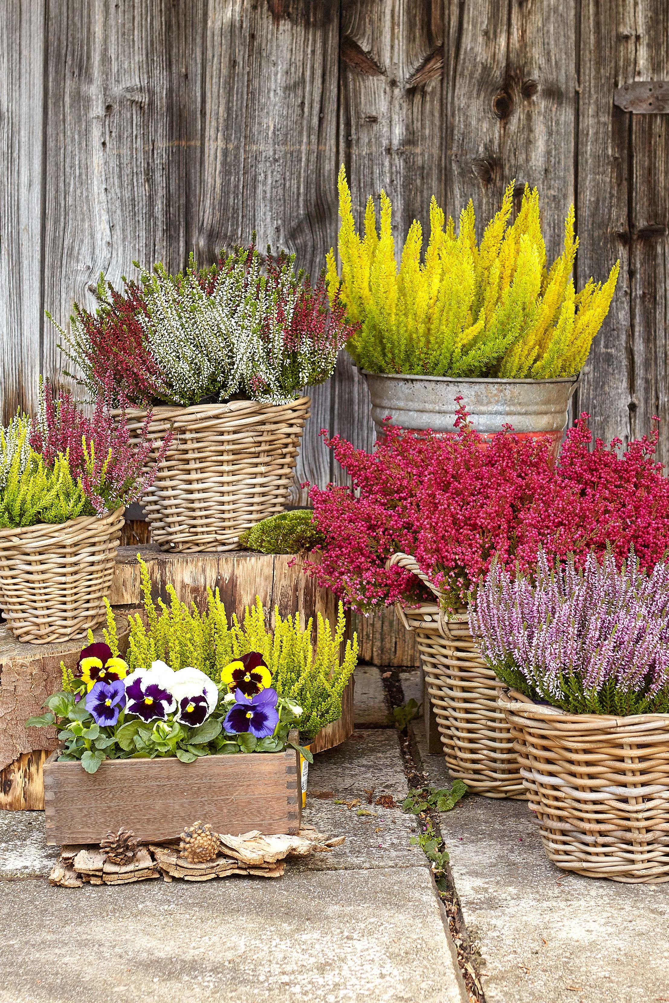 Pin Von Dehner Auf Pflanzen Fur Garten Und Balkon Heidepflanze Herbstpflanzen Pflanzen
